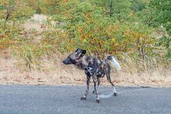 Wild dog, Lycaon Pictus, also called painted dog, peeing
