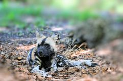 Wild dog Stock Photography