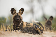 Wild Dog (Lycaon pictus) lying down Royalty Free Stock Photography