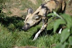 Wild Dog (Lycaon pictus) Royalty Free Stock Photos