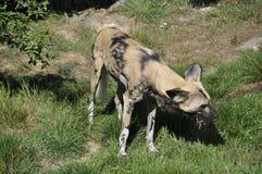 Wild Dog (Lycaon pictus) Stock Images