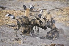 Wild Dog (Lycaon pictus) play-fighting. Wild Dogs (Lycaon pictus) routinely stage a ritualistic fight/play interaction before going off to hunt in the evening Royalty Free Stock Photos
