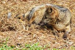 Wild dog. Stock Photos