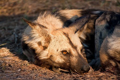 Wild dog lying in the on grass in sun Stock Images