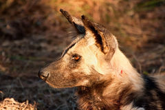 Wild dog lying in the on grass in sun. Closeup detail Stock Photography