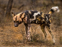 Wild dog marking territory. During a game drive in Kruger National Park, South Africa, we came across a pack of wild dogs (painted dogs). This male walked around Stock Photos