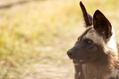 Wild Dog - Okavango Delta - Moremi N.P. Royalty Free Stock Photo