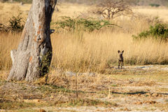 Wild Dog - Okavango Delta - Moremi N.P. Royalty Free Stock Image