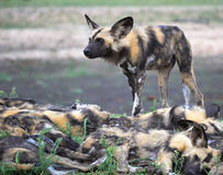 Wild Dog With Pack Royalty Free Stock Photography