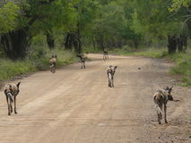 Wild Dog pack on the hunt Stock Images
