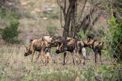 Wild Dog Pack Royalty Free Stock Photos
