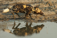 Wild dog running through pond Royalty Free Stock Photos