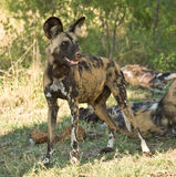 Wild Dog portrait. Wild Dogs (Lycaon pictus) hunt in packs and are the most efficient hunters of the large carnivores in Africa Stock Photos