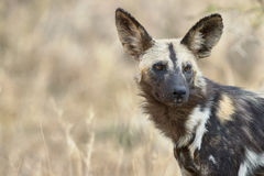 Wild dog portrait Royalty Free Stock Photo