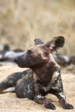Wild dog portrait Royalty Free Stock Images