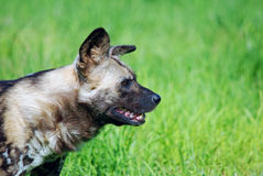 Wild dog on prowl. A wild dog on the prowl with a grassy background Royalty Free Stock Image