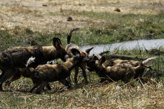 African Wild dog puppies feed time Stock Photo