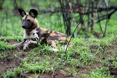 Wild dog. Puppy of a wild dog reclining in the midday heat in Kruger Park South Africa Stock Photo