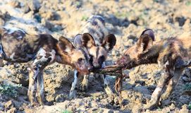 Wild Dog pups fighting over a freshly killed carcass, south luangwa, zambia Stock Images