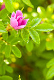 Wild dog rose bud macro Stock Photos