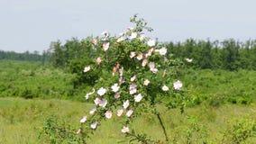 Wild dog rose bush stock video footage