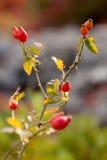 Wild dog rose Stock Image