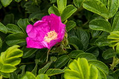 Wild dog rose on the pacific ocean coast Royalty Free Stock Photo