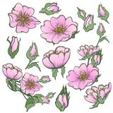 Wild dog rose set flowers with buds drawing vector clipart on white background for scrapbooking. Wild dog rose flowers, with butterfly drawing vector clipart on Stock Images