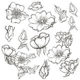 Wild dog rose set flowers contour ink adult coloring page with buds drawing vector clipart on white background for. Wild dog rose flowers, contour ink adult Royalty Free Stock Photo