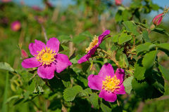 Wild dog roses Royalty Free Stock Photos