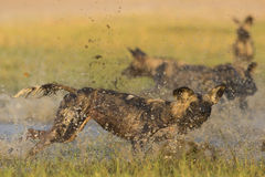 Wild Dog running in water. Wild Dog (Lycaon pictus) running and splashing in water Stock Photography