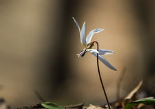 Wild dog's tooth violet in the forest Royalty Free Stock Photo