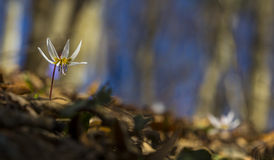 Wild dog's tooth violet in the forest Stock Photos