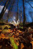 Wild dog's tooth violet in the forest in spring Stock Photos