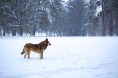 Wild dog in the snow Stock Photo