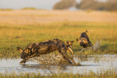 Wild Dog splashing through water. Wild Dog (Lycaon pictus) splashing through water Royalty Free Stock Photos