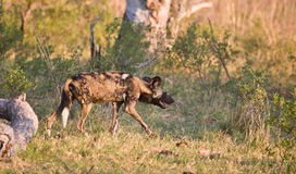 Wild Dog stalking. Wild Dogs (Lycaon pictus) hunt in packs and are the most efficient hunters of the large carnivores in Africa Royalty Free Stock Photo
