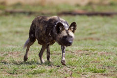 Wild dog stalking. Lycaon pictus Stock Photos