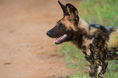 Wild dog standing looking for prey Royalty Free Stock Photo