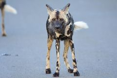Wild dog staring at camera. Wild dog standing in road and staring at the camera Stock Images