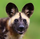 Wild dog staring straight into the camera. With  clean background. Lycaon pictus Royalty Free Stock Photos