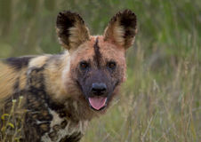 Wild dog walk in the grass Royalty Free Stock Photos