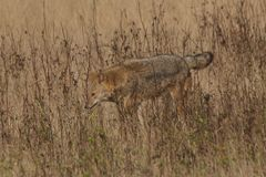 Wild dog walking in grass Stock Images