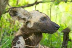 Wild dog. Watching its neighborhood Stock Photo