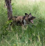 Wild dog. With open mouth in Kruger Park Royalty Free Stock Photos