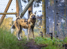 Wild dog. At wildlife sanctuary near Plettenberg Bay, South Africa Stock Photography