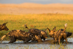 Wild Dog (Lycaon pictus) jumping in water Stock Photos