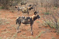 Wild dogs. African wild dogs, South Africa Royalty Free Stock Image
