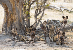 Wild dogs Stock Image