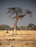 Wild dogs and baobab tree Stock Image
